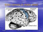 brain sensory motor areas10