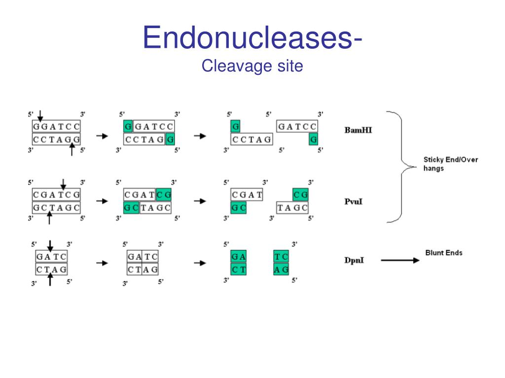 Endonucleases-