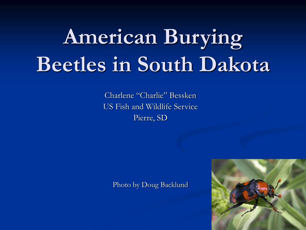 american burying beetles in south dakota l.