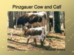 pinzgauer cow and calf
