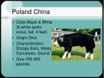 poland china