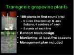 transgenic grapevine plants