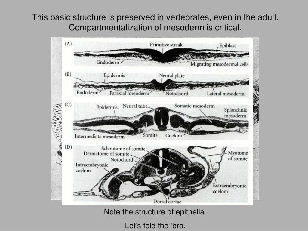 This basic structure is preserved in vertebrates, even in the adult. Compartmentalization of mesoderm is critical.
