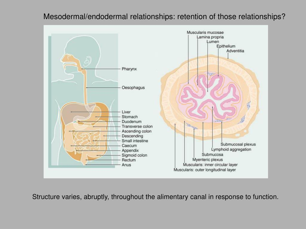 Mesodermal/endodermal relationships: retention of those relationships?