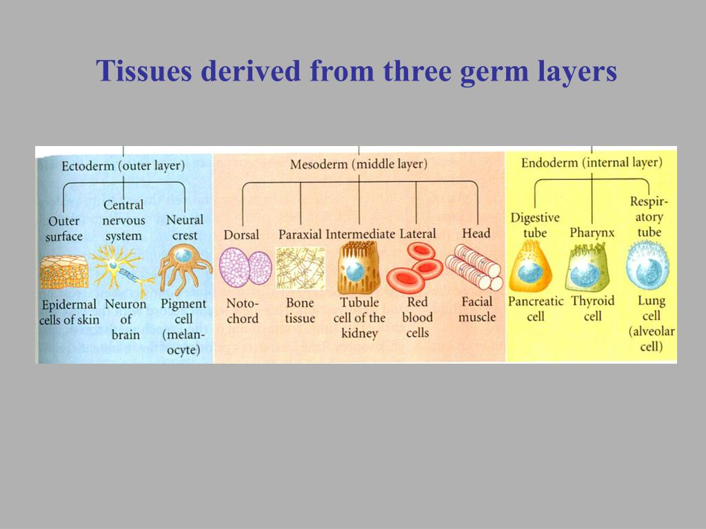 Tissues derived from three germ layers