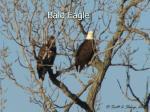 bald eagle14