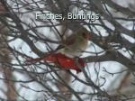finches buntings