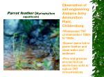 parrot feather myriophyllum aquaticum