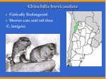 chinchilla brevicaudata
