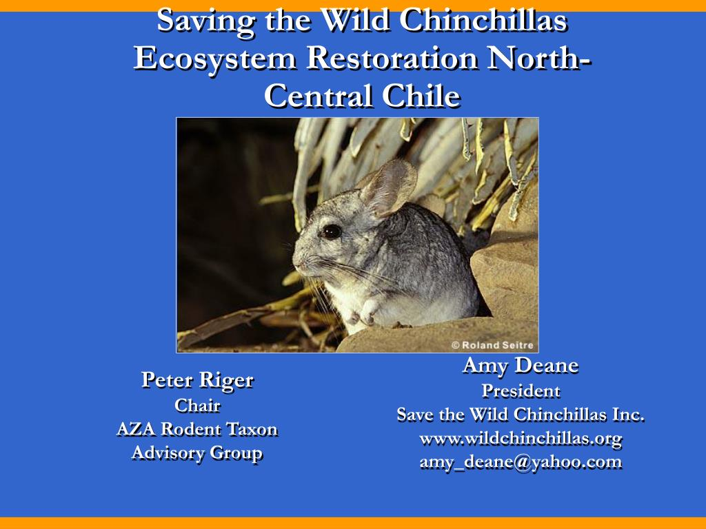saving the wild chinchillas ecosystem restoration north central chile l.