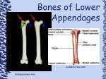 bones of lower appendages