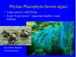 phylum phaeophyta brown algae29