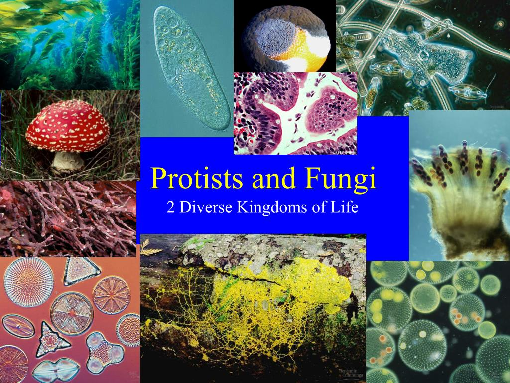protists and fungi Protists and fungi - free download as powerpoint presentation (ppt) or view presentation slides online.