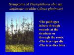 symptoms of phytophthora alni ssp uniformis on alder alnus glutinosa