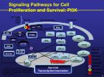 signaling pathways for cell proliferation and survival pi3k