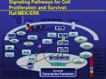signaling pathways for cell proliferation and survival raf mek erk