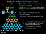 apoptosis is mediated by a caspase cascade
