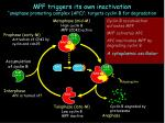 mpf triggers its own inactivation anaphase promoting complex apc targets cyclin b for degradation