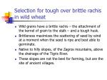 selection for tough over brittle rachis in wild wheat