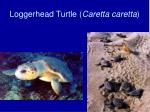 loggerhead turtle caretta caretta