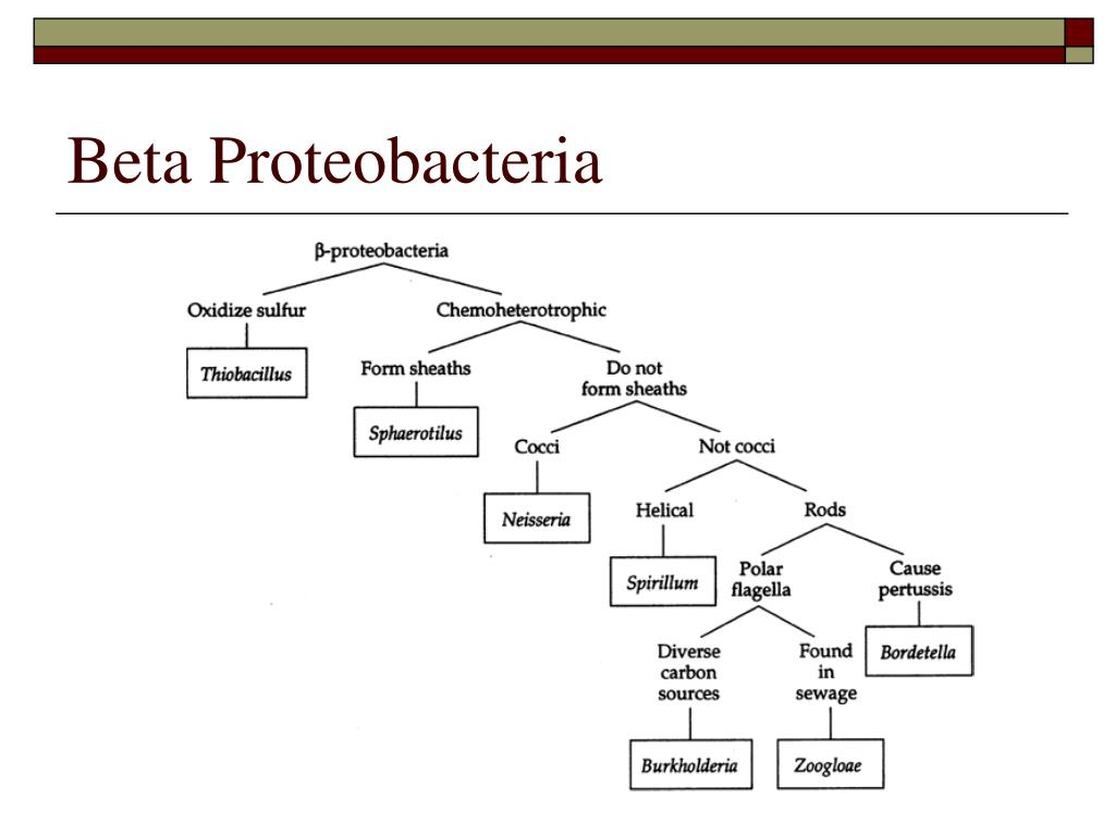 Beta Proteobacteria