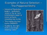 examples of natural selection the peppered moths43