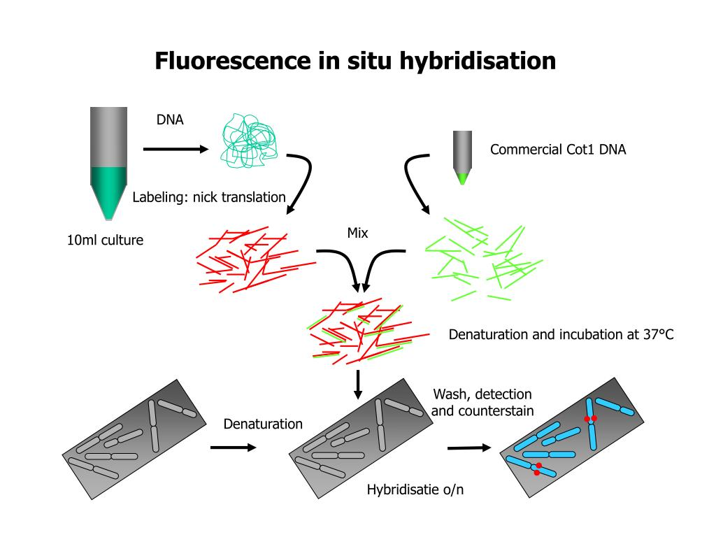 Fluorescence in situ hybridisation