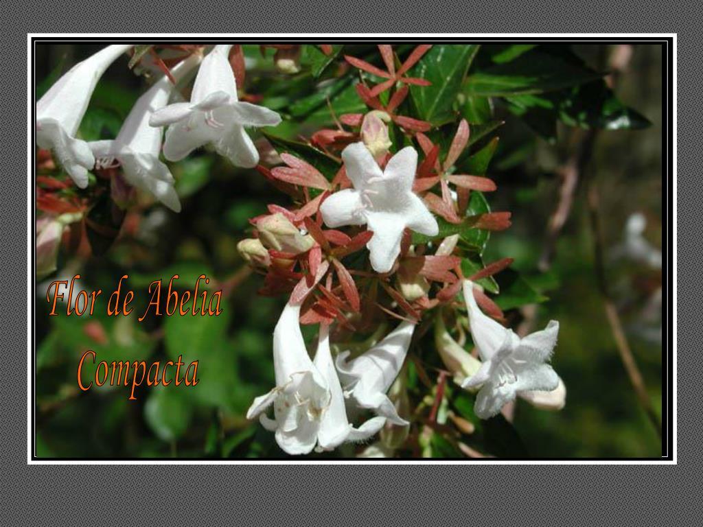 Flor de Abelia