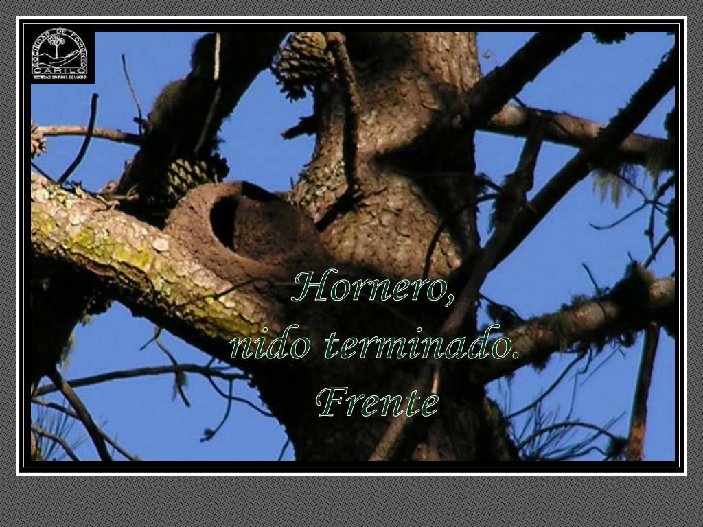 Hornero,