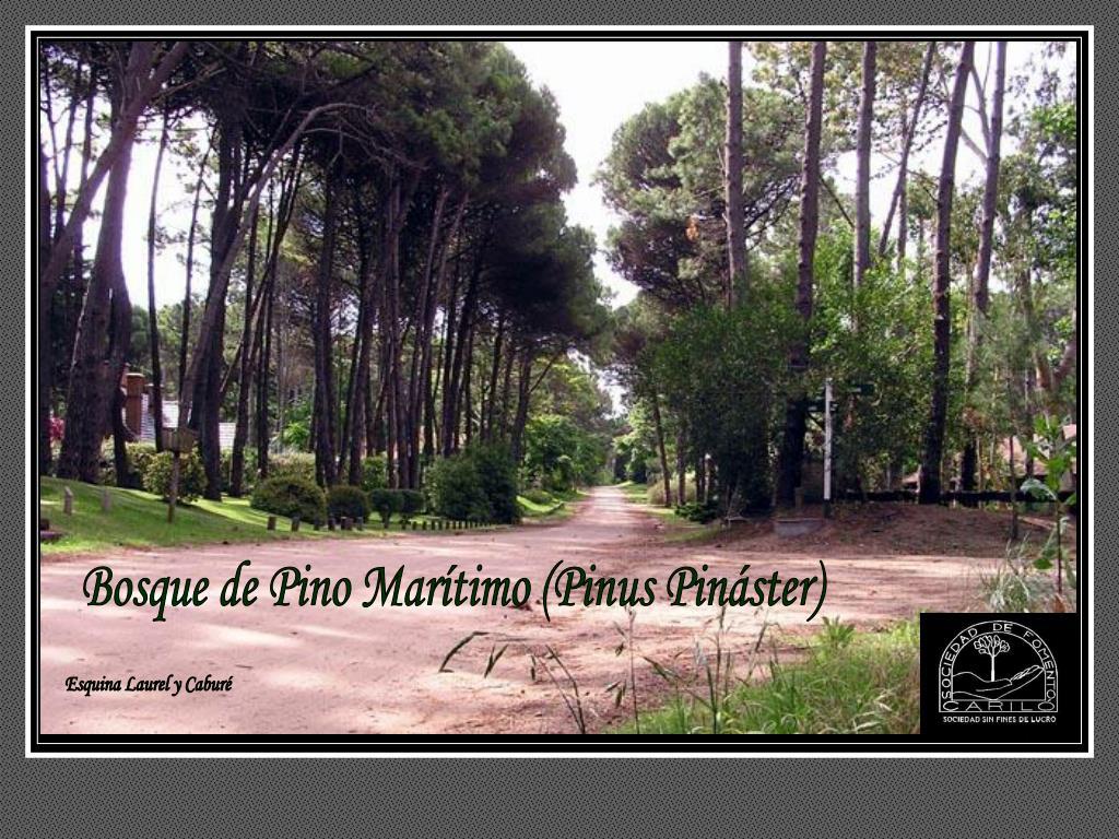 Bosque de Pino Marítimo (Pinus Pináster)