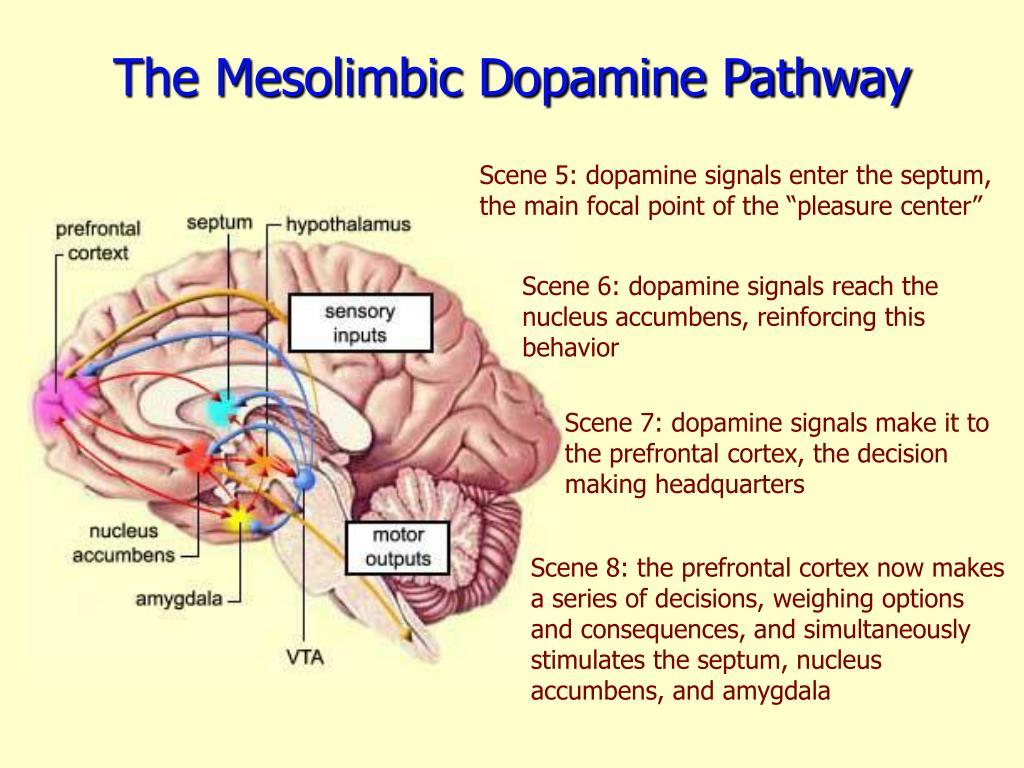 The Mesolimbic Dopamine Pathway
