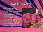 dwarf hydrangea