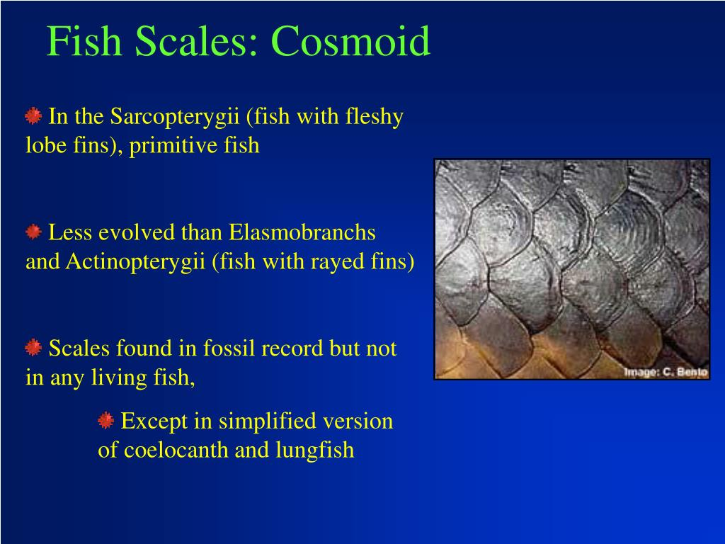 Fish Scales: Cosmoid