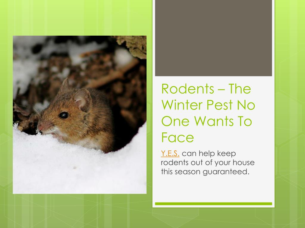 rodents the winter pest no one wants to face l.