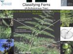 classifying ferns a dichotomous tree