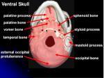 ventral skull