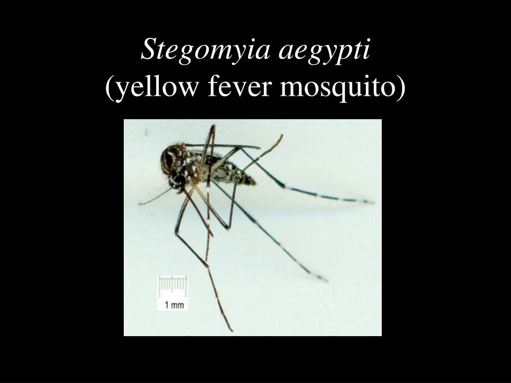 Stegomyia aegypti