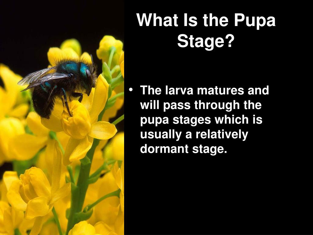 What Is the Pupa Stage?