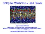 biological membrane lipid bilayer