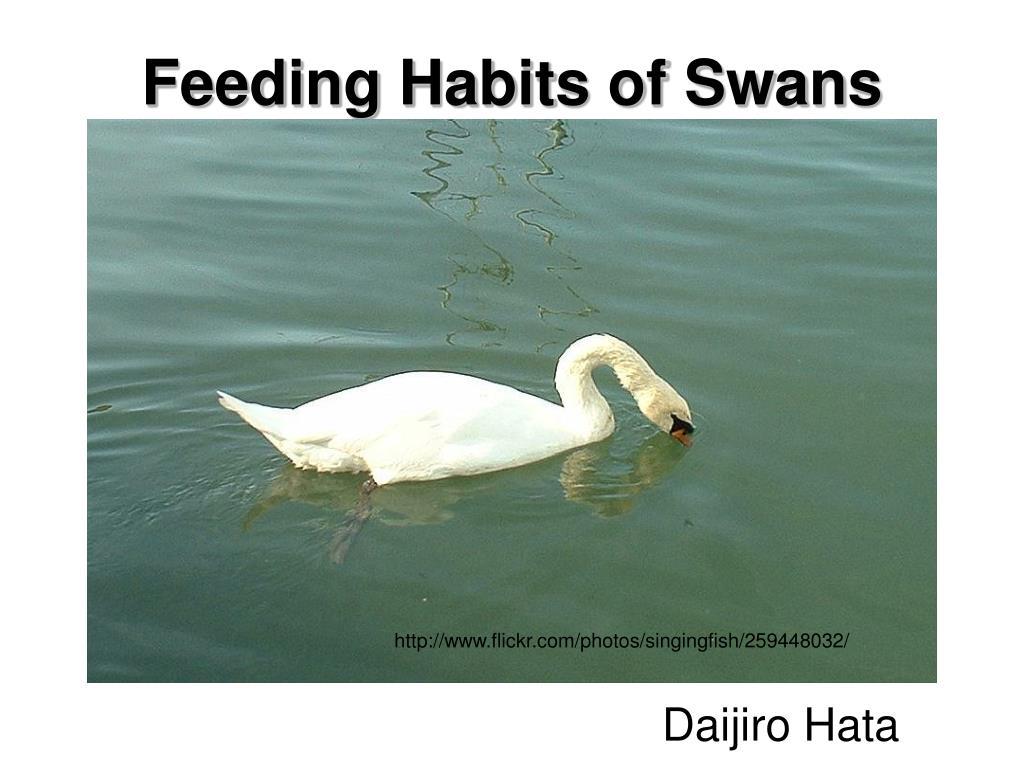 feeding habits of swans l.