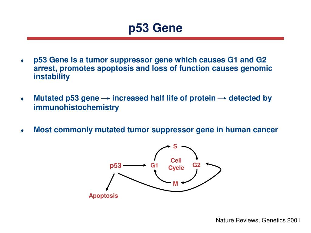 p53 Gene is a tumor suppressor gene which causes G1 and G2 arrest, promotes apoptosis and loss of function causes genomic instability