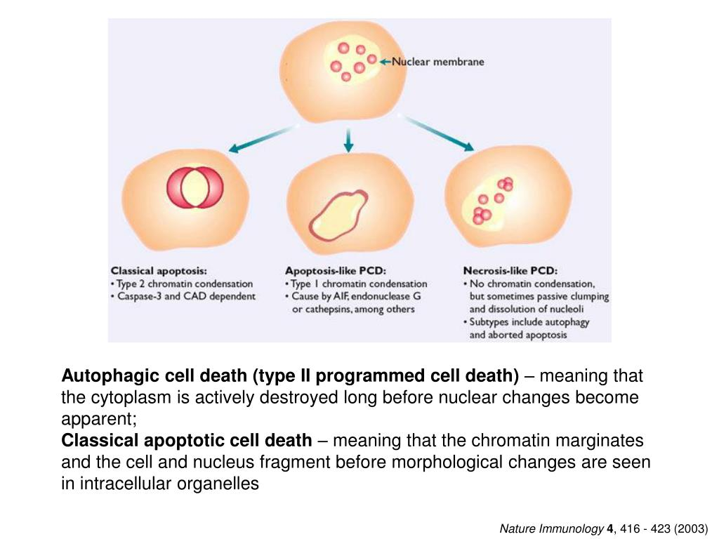 Autophagic cell death (type II programmed cell death)