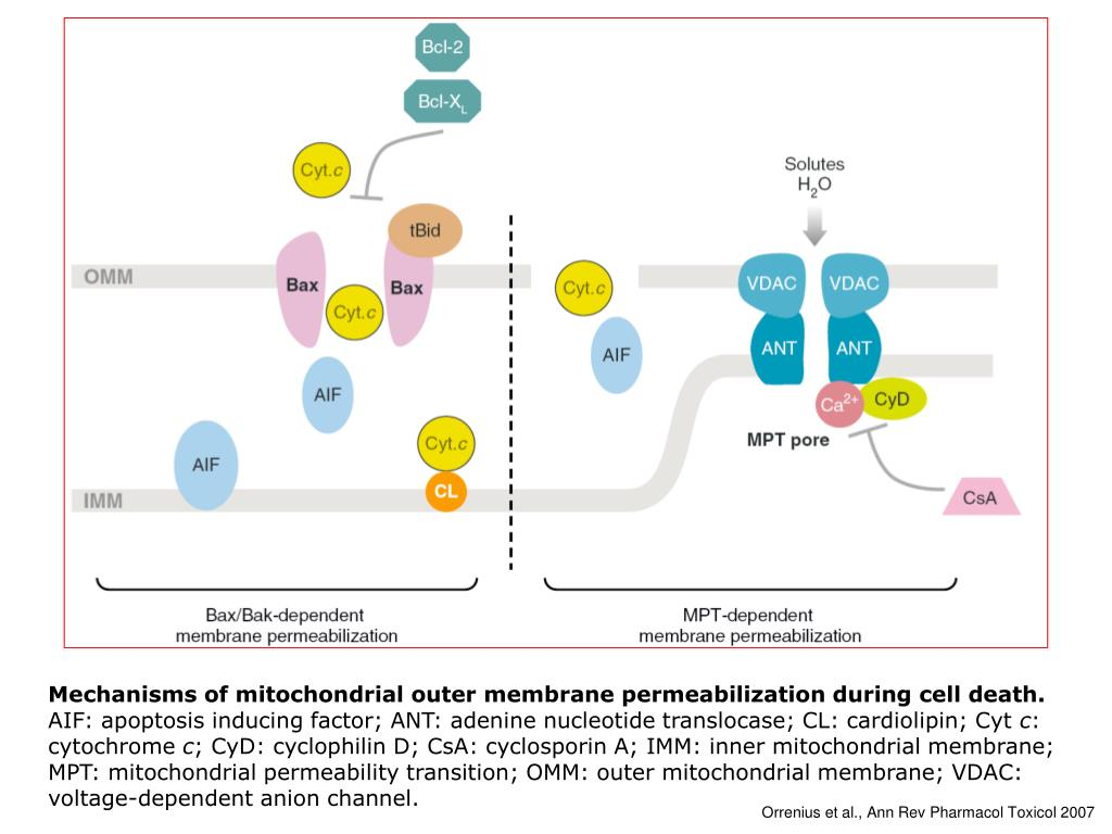 Mechanisms of mitochondrial outer membrane permeabilization during cell death.