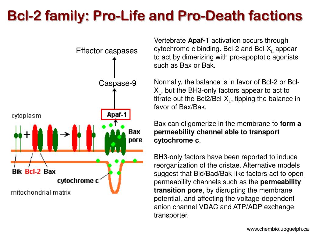 Bcl-2 family: Pro-Life and Pro-Death factions