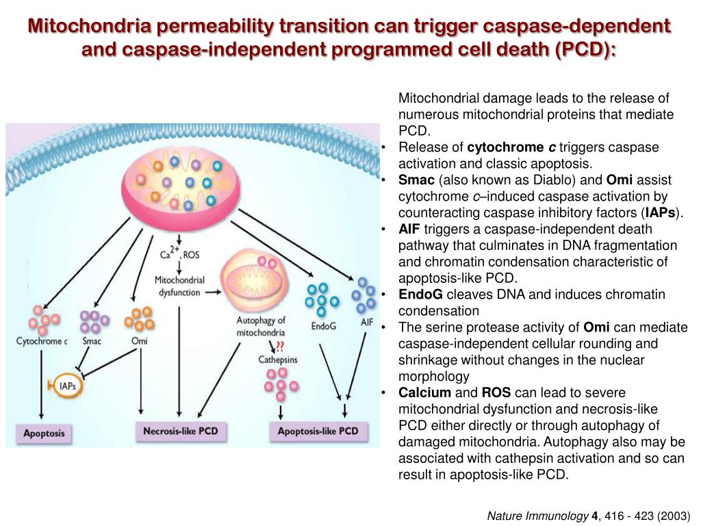 Mitochondria permeability transition can trigger caspase-dependent