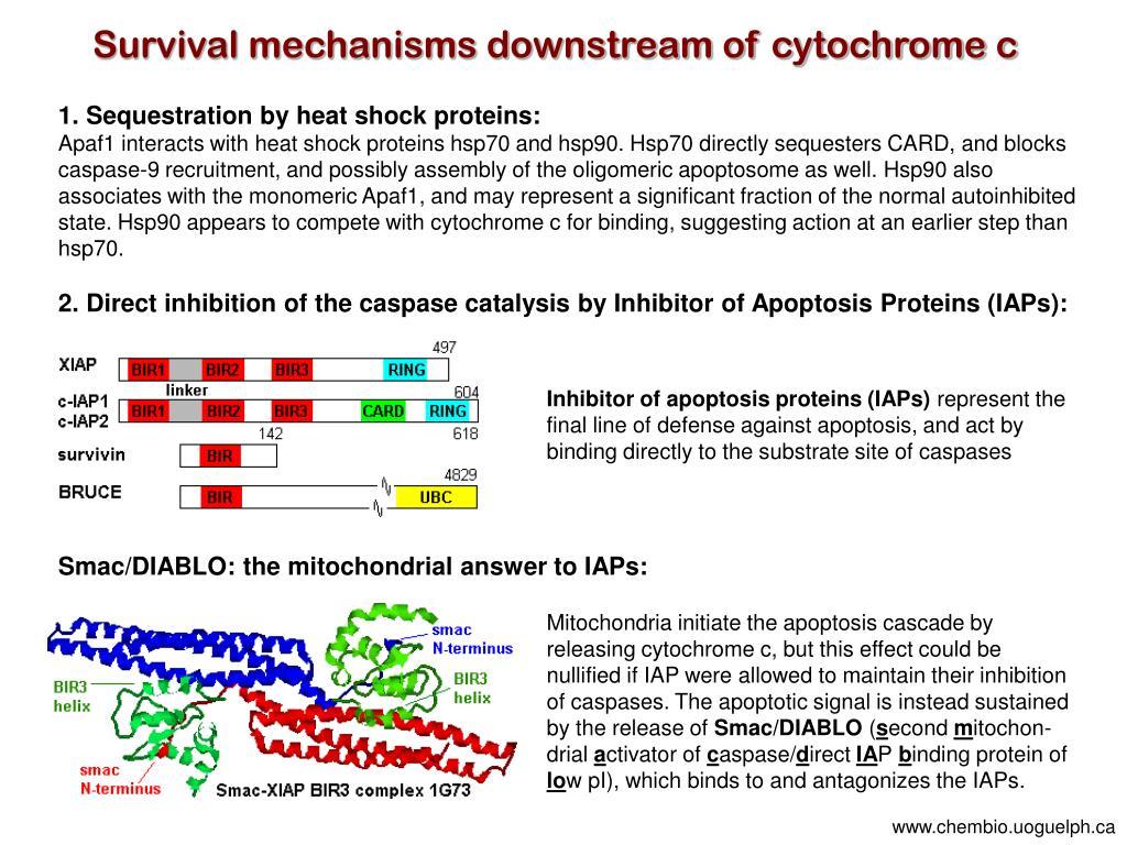 Survival mechanisms downstream of cytochrome c