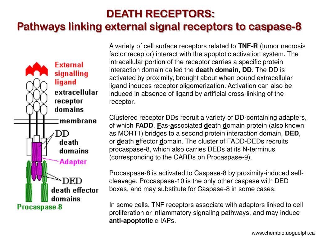 DEATH RECEPTORS: