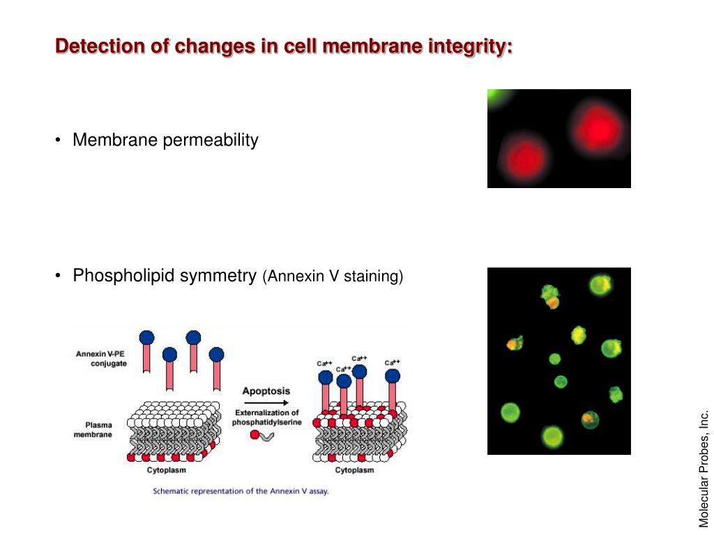 Detection of changes in cell membrane integrity: