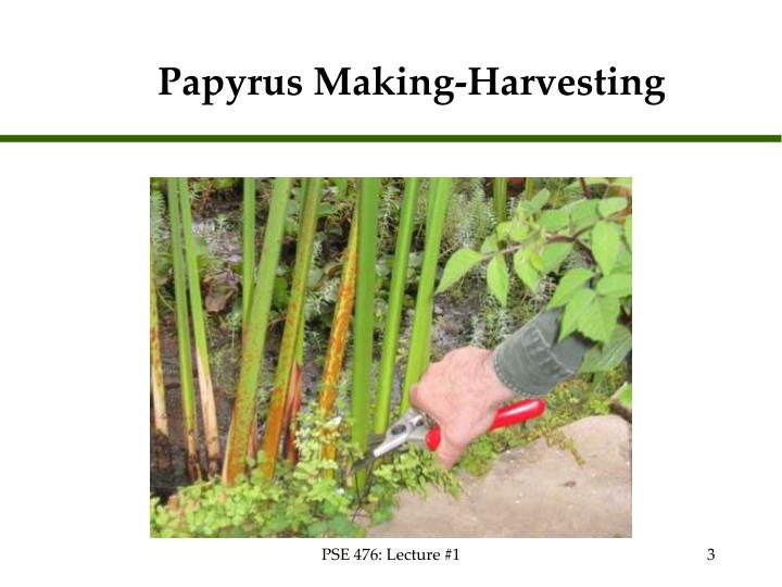 Papyrus making harvesting