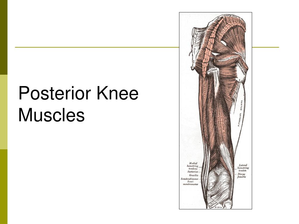 Posterior Knee Muscles